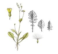Crepis japonica