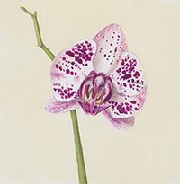 Phalaenopsis guache