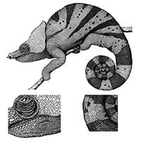 Cameleo parsonii